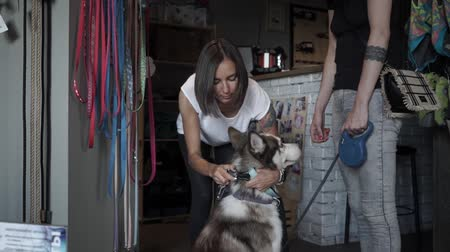fancier : Seller trying on collar on husky. Woman choosing leash for her dog in pet store. Female came shopping to the pet store with husky. Seller helps to choose accessories for dog. Slow motion. Stock Footage
