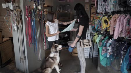 fancier : Woman seller offers knits a scarf on husky. Beautiful girl offers a bandage for husky.