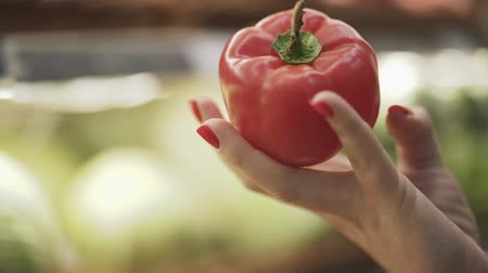 capsicum : Female hand is holding a big red pepper. Female hand throws pepper. Close-up of a female hand holding a big red pepper.