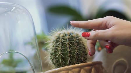 dikenli : Female hand with red nails touches cactus close-up. Female finger touching cactus needle.
