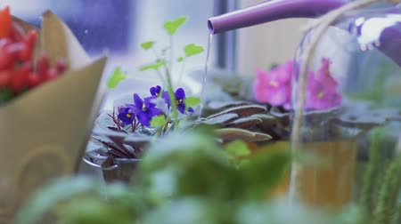 növénytan : Closeup of a potted flower irrigation using a watering can. Watering a potted flower in flower shop. Stock mozgókép