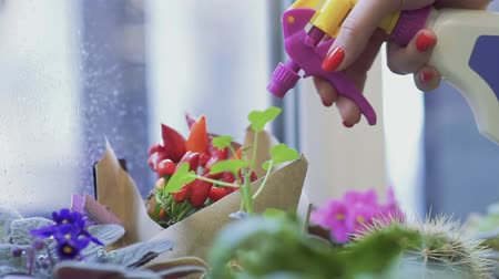 water sprayer : Female hand sprinkles flowers using a spray bottle close up. Hand spraying water on flower bouquet.