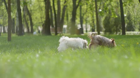 pis : Two small furry dog running on green grass in the park outdoors. Archivo de Video