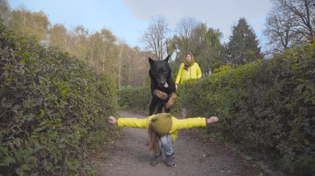 Caucasian female child in mustard hat and yellow coat bending down and big black doberman jumping over the girl. Little lady playing with her animal friend in the autumn park