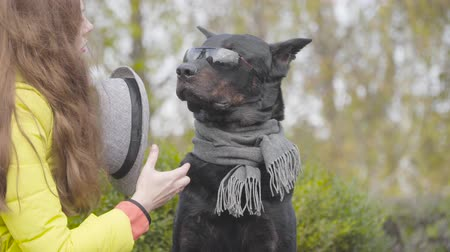 companheiro : Portrait of graceful black doberman in sunglasses and grey scarf. Young Caucasian woman coming up and giving him grey hat. Dog posing in the autumn park Vídeos