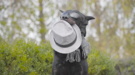 Portrait of graceful black doberman in sunglasses and grey scarf. Young Caucasian woman coming up and giving him grey hat. Dog posing in the autumn park Stock Footage