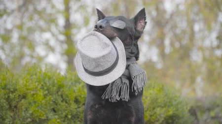 Beautiful black doberman in sunglasses and grey scarf holding grey hat in mouth and waving paw. Dog posing in the autumn park Stock Footage