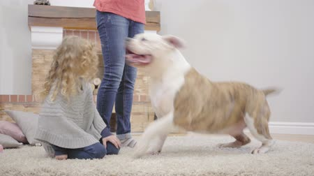 buldok : White and brown bulldog sitting on the carpet with Caucasian family, standing up and walking away. Blond pretty girl with curly hair going with her animal friend. Family resting with pet at weekends Dostupné videozáznamy