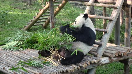 memeli : wide shot of a funny giant panda eating bamboo. 4k video. Stok Video
