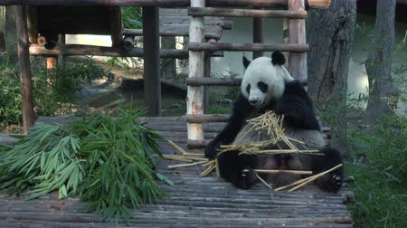 bambusz : wide shot of a funny giant panda eating bamboo. 4k video. Stock mozgókép