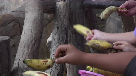 feed on : close up video of a eating elephants at the chiangmai zoo. 4k video made at day.