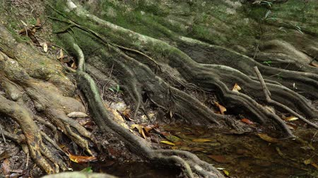 banyan : Slider video of Giant Roots of fig tree, forest landscape at Khao Yai national park, Thailand.