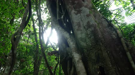 banyan : Pan video of a fig tree trunk, forest landscape at Khao Yai national park, Thailand.