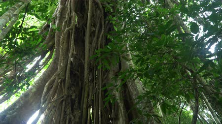 banyan : Pan video of giant roots of a fig tree, forest landscape at Khao Yai national park, Thailand.