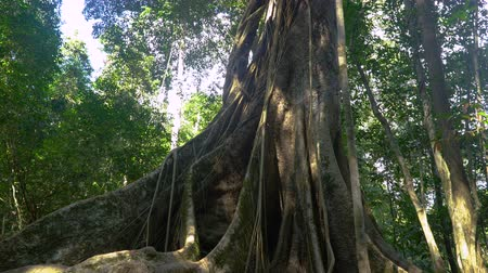 banyan : Pan video of Giant Roots of fig tree, forest landscape at Khao Yai national park, Thailand.