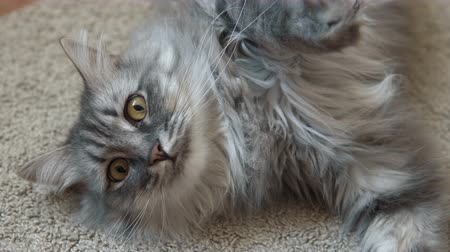 kürk : Close up video of a cute gray fluffy cat resting on the rug looking at the camera.