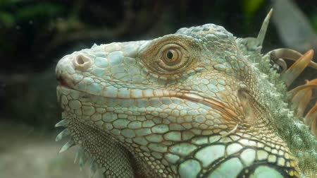 close up shot : Close Up video - iguana lizard sitting on the braches. Wildlife Shot, Tropical Colorful Environment.