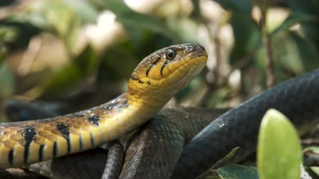 nonvenomous : Close up video portrait of the buff striped keelback -a species of nonvenomous colubrid snake found across Asia. Stock Footage