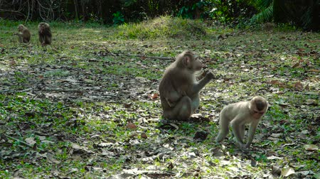 macaca fascicularis : Northern pig-tailed macaque with baby eating on the ground at Khao Yai national park, Thailand. Stock Footage
