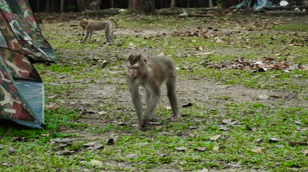 macaca fascicularis : Northern pig-tailed macaques eating on the ground at Khao Yai national park, Thailand. Stock Footage