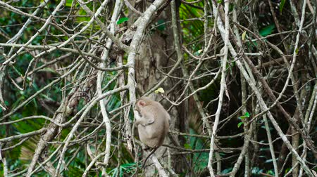 macaca fascicularis : Northern pig-tailed macaque eating on branches at Khao Yai national park, Thailand.