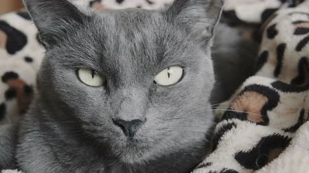 sitting floor : Close-up portrait of a gray sleepy cat with green eyes on the bed