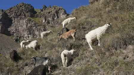 sörény : goats and sheep grazing on the mountains Stock mozgókép