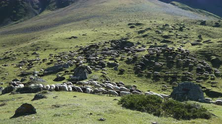 koyun eti : Sheep grazing on the hill of Caucasus mountains near Elbrus - the highest mountain in Europe. Stok Video