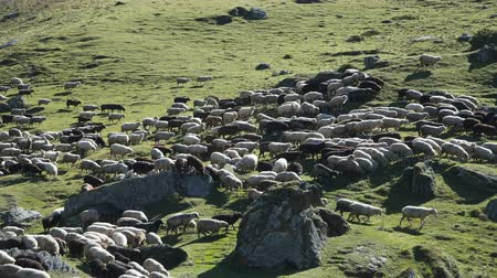 galope : Sheep grazing on the hill of Caucasus mountains near Elbrus - the highest mountain in Europe. Vídeos