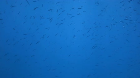 dravec : School of Red sea fish in deep blue water, Red sea, Egypt. Full HD underwater footage.