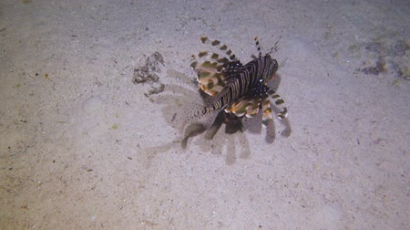 lion : Lion Fish Hunting at night at a colorful coral reef. Full HD underwater footage.