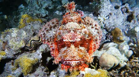 Close up of venomous scorpion fish lying on a coral reef, Red sea, Egypt. Dostupné videozáznamy