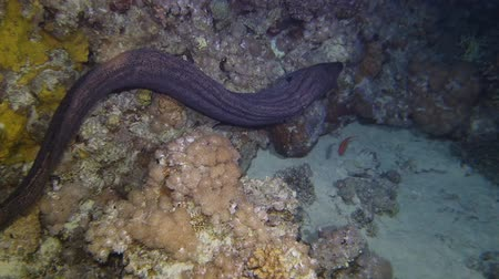 yılanbalığı : A giant moray eel leaned out of its hole and moving in corals at night, Red sea, Egypt. Stok Video