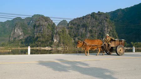 tam coc caves : TAM COC, VIETNAM - DECEMBER 17, 2018: Vietnamese man riding a cart drawn by a cow at scenic view of limestone mountains and rice fields.