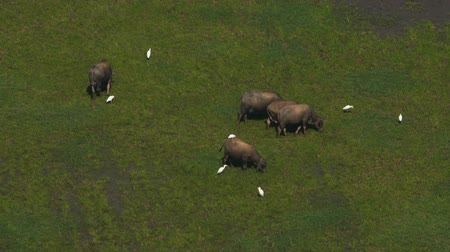 abundante : Asian buffaloes grazing on rice terraces eating grass