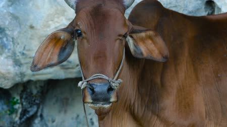 Close up portrait of asian red cow on rice terraces eating grass