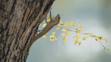 jaszczurka : Lizard sitting on the tree at Khao Yai national park, Thailand. Wideo