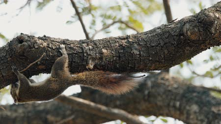 wiewiórka : Red colour squirrel sitting on a tree and eating on the branch.