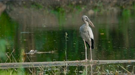cigüeñas : Asian openbill storks on the lake - bird living and feeding at freshwater lakes and rice fields, Asia.