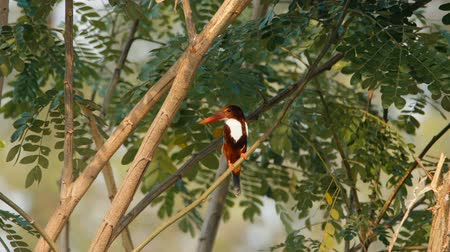 poleiro : White throated kingfisher (Halcyon smyrnensis) sitting on a tree and eating on the branch in Khao Yai national park, Thailand.