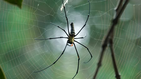 szubtropikus : Big spider sitting on its net. Nephilidae is a spider family that lives in tropical and subtropical environments in the America, Africa, Asia, and Australia