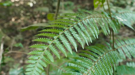 fig : Crooked fern branches in Khao Yai national park, Thailand. Stock Footage