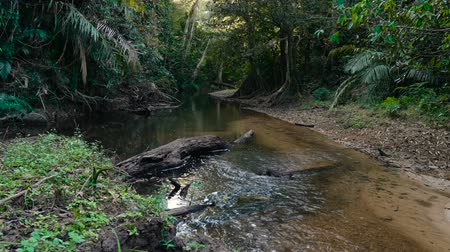 banyan : Small river in the jungle of Khao Yai National Park. Thailand. Footage shot at winter season time. Stock Footage