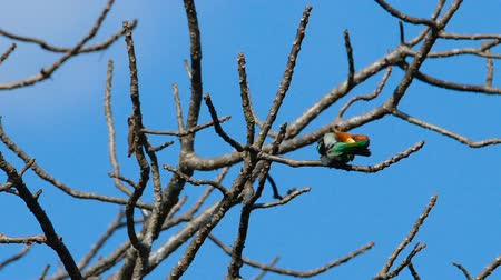 lesser : Chestnut-headed Bee-eater sitting on a tree branch and cleaning itself at Khao Yai National Park. Thailand.