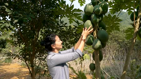 south asian food : Slow motion - woman touching big green papaya fruit in the garden. Green papaya is used in Southeast Asian cooking, both raw and cooked. Stock Footage