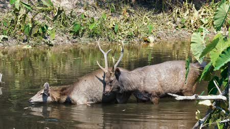 geyik : Pair of sambar deers rest in the river at Khao Yai national park, Thailand. Sambar is a large deer living in the Indian Subcontinent, southern China and Southern Asia.