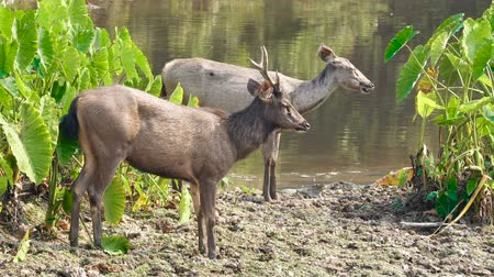 geyik : Pair of sambar deers rest at the river in Khao Yai national park, Thailand. Sambar is a large deer living in the Indian Subcontinent, southern China and Southern Asia.
