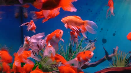 deep sea exploration : Little gold fish and red fish in fish tank or aquarium at blue background