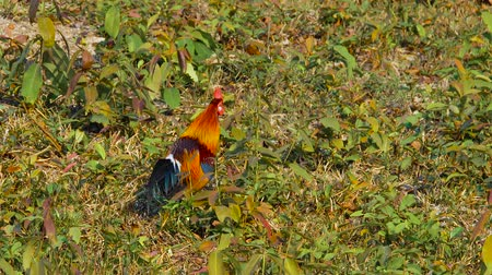 feed back : Poule de la Jungle rouge mâle au parc national de Khao Yai en Thaïlande