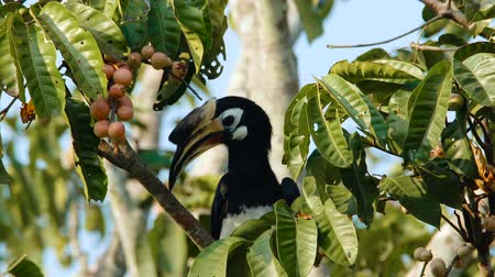 perching : Oriental pied Hornbill sitting on a tree and eating fruits in the morning in Khao Yai National park Thailand
